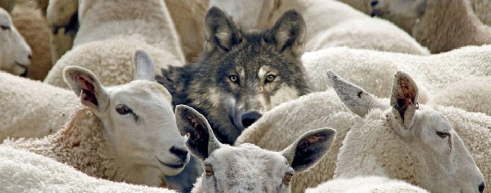 Vlk medzi ovcami