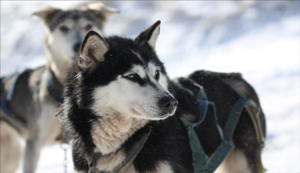 Donovaly - Psie záprahy 2011